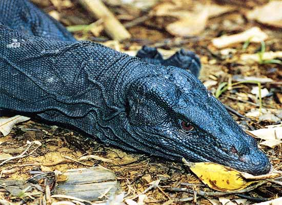 Going, going, gone? Two Philippine lizards near extinction