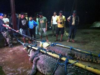 Two giant crocs caught on Valentines Day in Palawan
