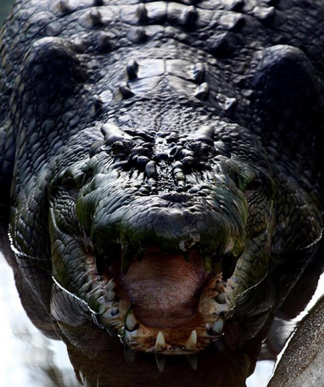 'Lolong' dies after two years in captivity | GMA News Online